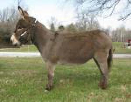 Miller's Meadow Miniature Donkeys - Jennets